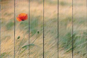 Одинокий мак в поле