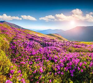 Цветки рододендрона в горах.