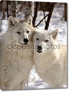 Волков Арктики в зимний период_