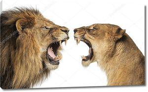 крупным планом Лев и львица, ревущие друг на друга