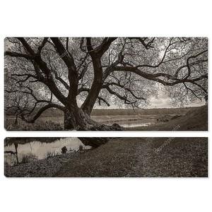 Старый большой разветвленной дерево на берегу реки. Монохромное фото