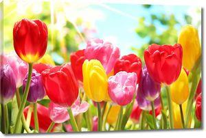 Яркие тюльпаны в солнечных лучах