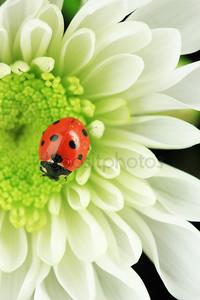 красивая Божья коровка на цветке, крупным планом