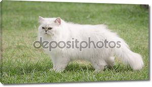 Белая Персидская кошка ходить