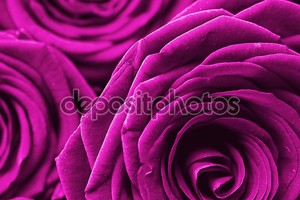 фиолетовые розы фон