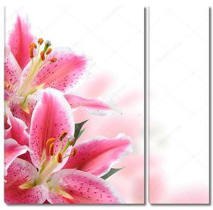 Раскрытые Розовые лилии на белом фоне
