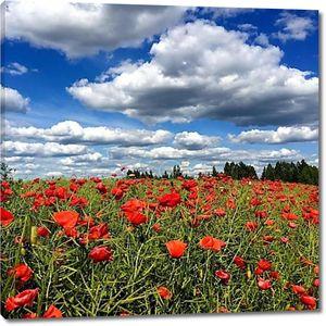 Маковое поле под пасмурным небом