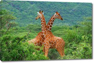 Поединок двух жирафов