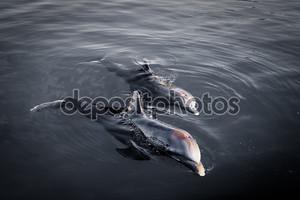 Двух дельфинов на рассвете