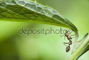 Красный муравей в макросе