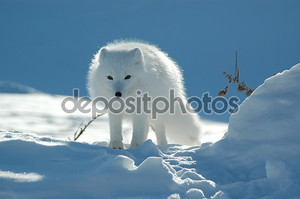 Песец на снегу