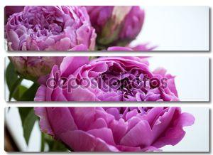 Розовый пион цветы