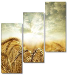 Пасмурное небо над пшеницей