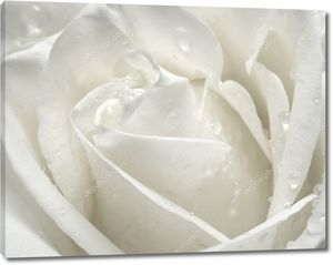 Макрос розы