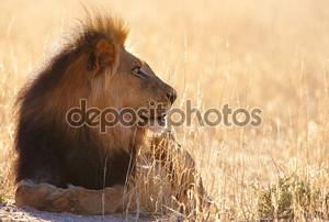 Лев (panthera leo) в саванне