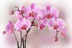 Дизайн розовых орхидей