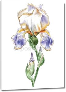 Иллюстрация с акварелью цветок. Ирис