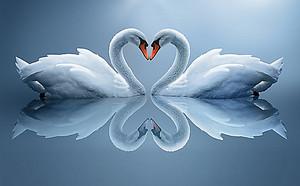 Отражение лебедей