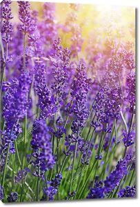 Цветки садовой лаванды