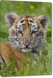тигровый детеныш