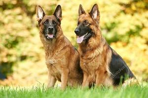 Два немецкая овчарка