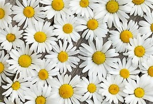 ромашка цветы ромашки