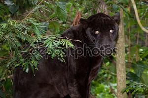 Черная пантера с горящими глазами