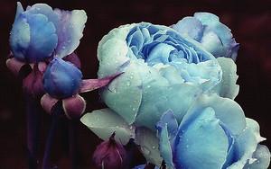 Голубые пионы с бутонами