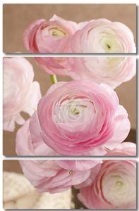 Pink persian buttercup flowers (ranunculus)