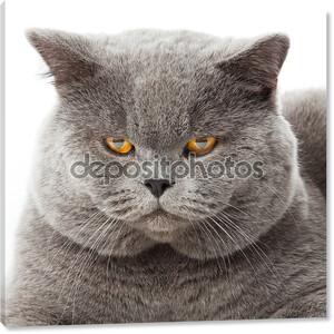 Британская короткошерстная кошка на белом фоне. Британский Кот изолированные