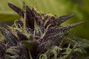 сладкий фиолетовый сорняков