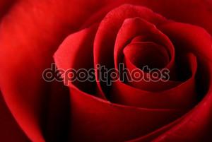 Красная роза макро