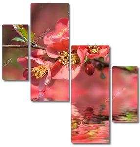 Ветка цветущей айвы