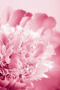 Розовый пион цветок изолированные
