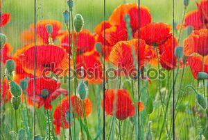 Яркие цветущие маки