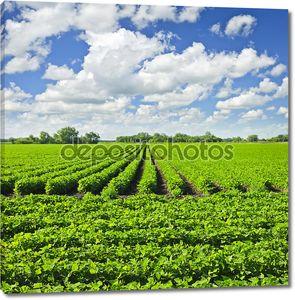 Рядами растений сои в поле
