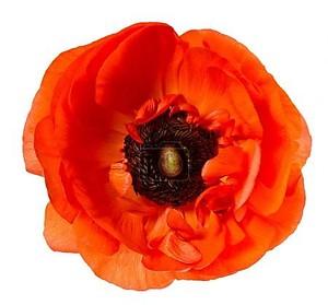Цветок головы красного мака анемона изолированный белый фон