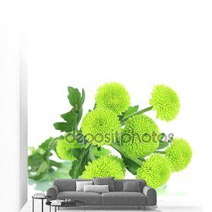 Красивая Зеленая хризантема, изолированные на белом