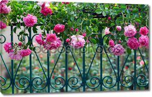 Плетистая розовая роза с росой на синий кованые ограждения в летнем саду