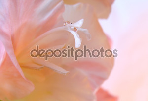 Розовый гладиолус макрос