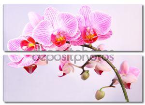 Розовый прожилками цветок орхидеи