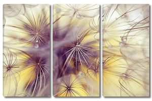 Beauty dandelion