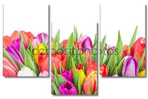 Тюльпаны на белом фоне