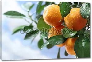 Спелый мандарин на ветке дерева. Голубое небо на заднем плане