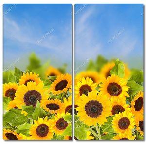 Поля подсолнухов в Солнечный день