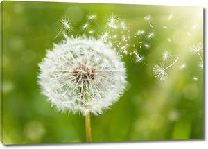 Одуванчик с летающими семена