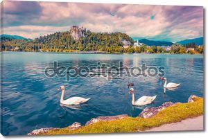 Белые лебеди на озере Блед