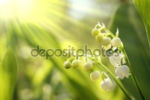 lilly долины