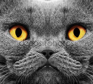 Кот британский короткие волосы