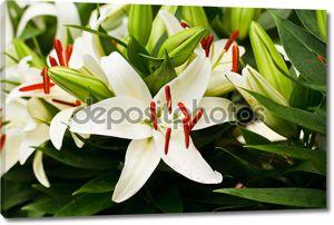 Красивые белые лилии цветы
